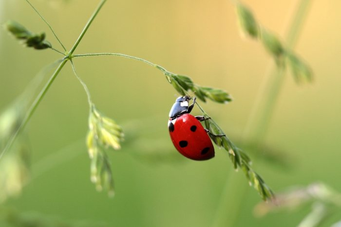 beetle-coccinellidae-insecte-121472